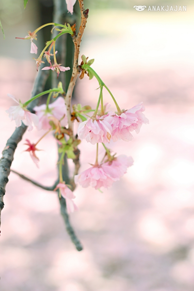 [JAPAN] Shinjuku Gyoen – My Cherry Blossom Diary