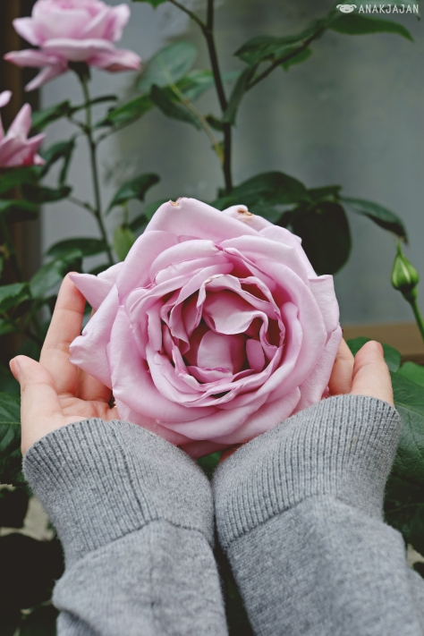 gigantic wild roses