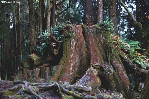 boar-shaped tree stump