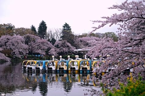 Japan guide sakura 2014