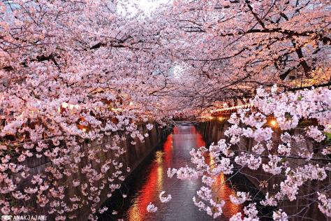 Japan Cherry Blossom Sakura Guide Best Spots In