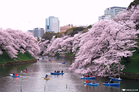 Japan Cherry Blossom Sakura Guide Best Spots In