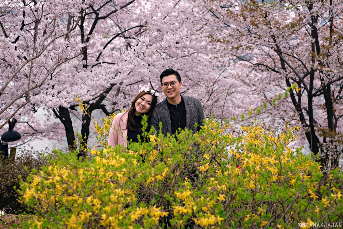 [KOREA] CHERRY BLOSSOMS IN SEOUL - Where is the BEST PLACES to see it