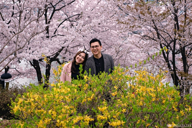 [KOREA] CHERRY BLOSSOMS IN SEOUL – Where is the BEST PLACES to see it