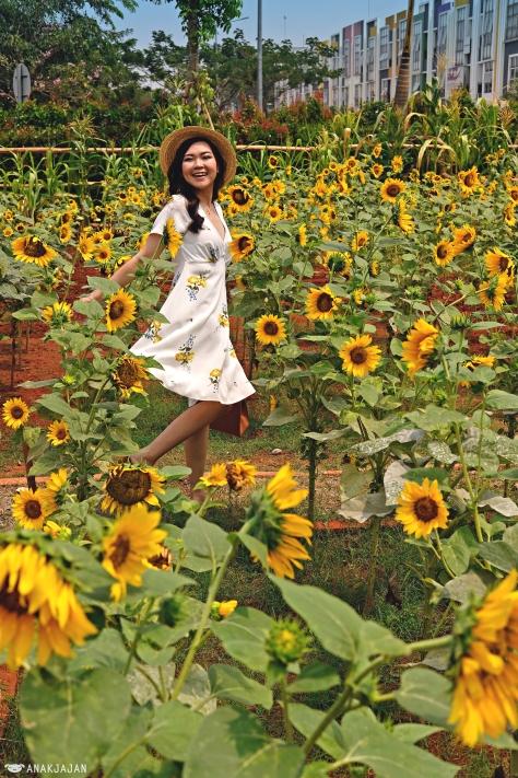 sunflower field  u2013 arumdalu farm  ssq park