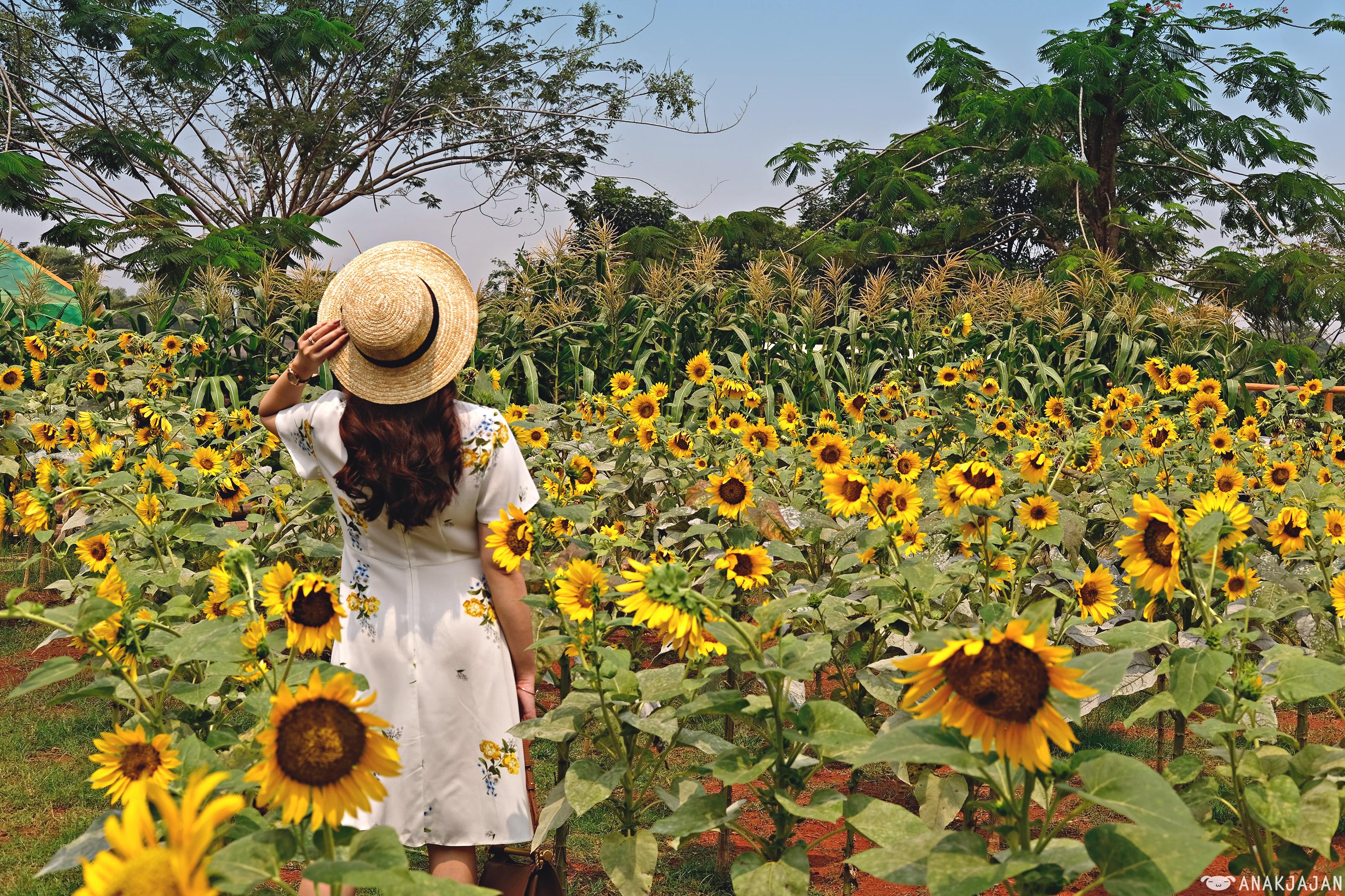 Sunflower Field Arumdalu Farm Ssq Park Anakjajan Com