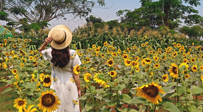 SUNFLOWER FIELD – Arumdalu Farm, SSQ PARK